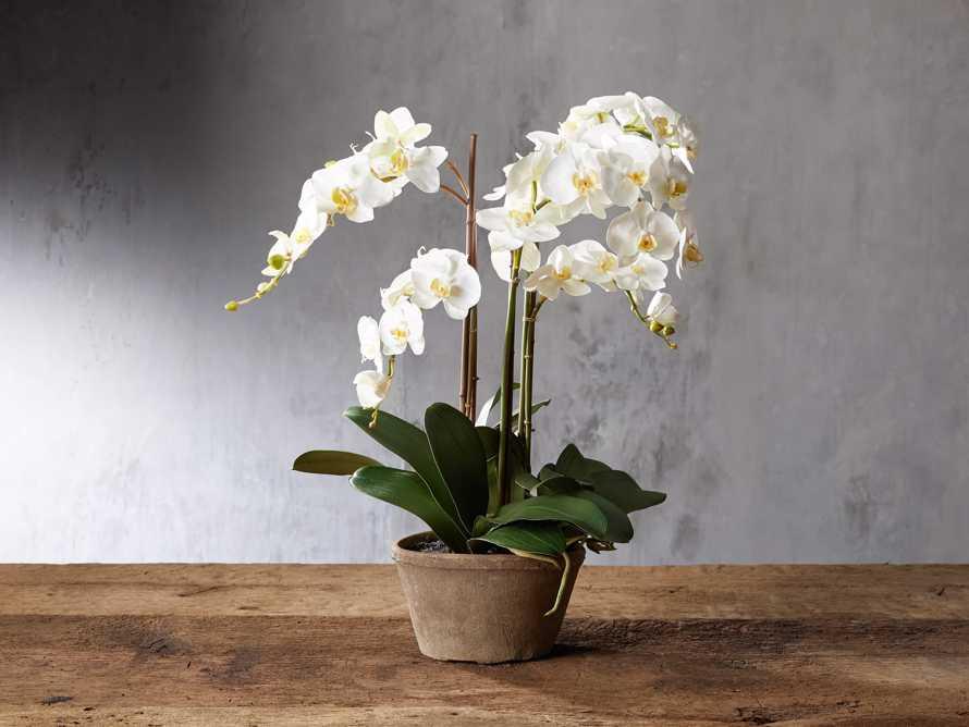 White Phalaenopsis Orchid, slide 1 of 1